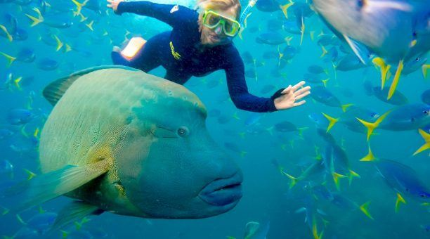 See the amazing Maori Wrasse when Snorkelling